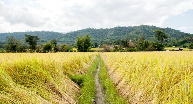 Rice farm royalty free stock photos