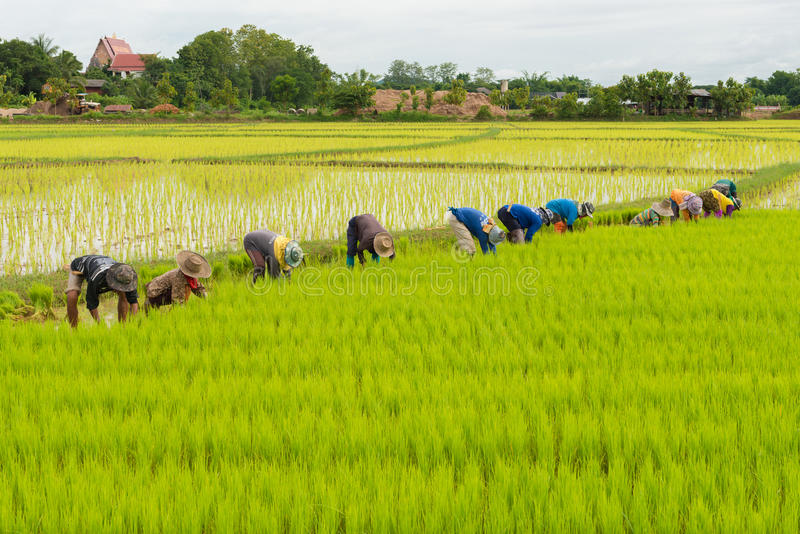 Rice farm. Rice sprout ready to growing in the rice field royalty free stock photo