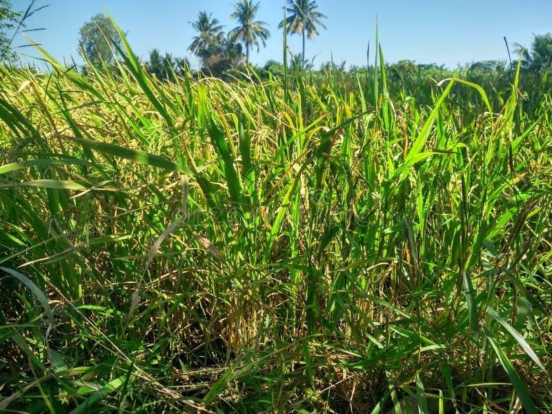 Rice farm at Suphanburi ,Thailand royalty free stock photography