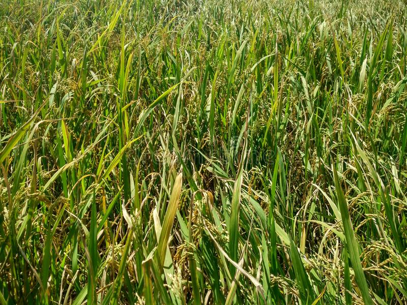 Rice farm at Suphanburi ,Thailand royalty free stock image
