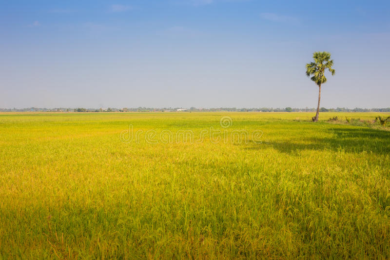 Rice farm royalty free stock photography
