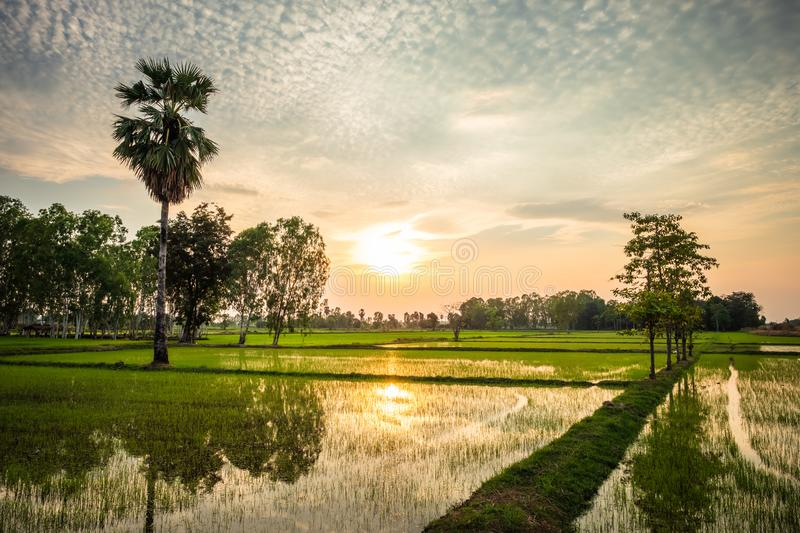 Rice Farm in Thailand. Rice farm at sunset in countryside of Thailand royalty free stock photography