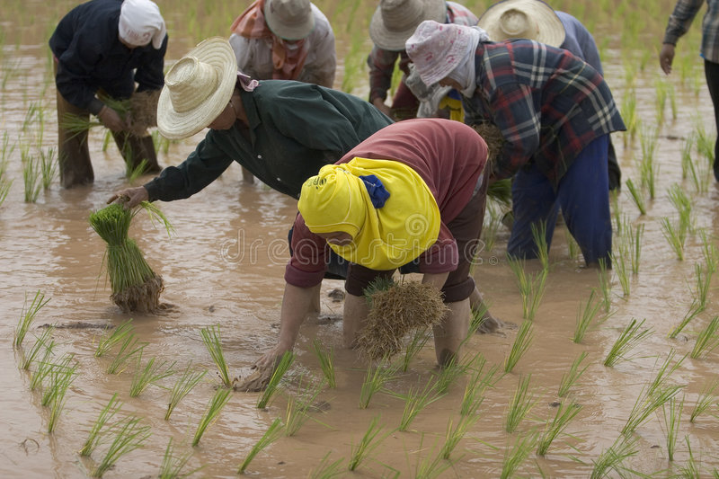 Download Rice Farmers In Northern Thailand Editorial Image - Image: 5041770