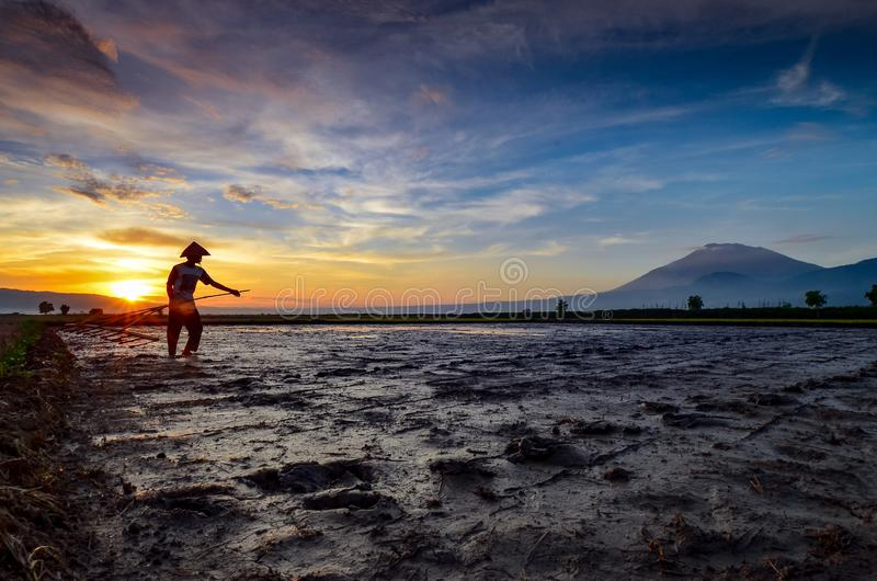 Rice farmers working in the rice fields with the backdrop of the mountains stock photography