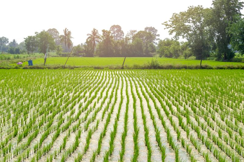 Rice farming of farmers in the provinces countryside of Thailand royalty free stock image