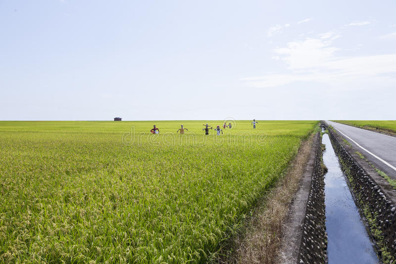 Download Rice farmwith Scarecrow stock photo. Image of summer - 31892980