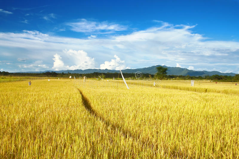 Download Rice field stock photo. Image of blue, grow, grassed - 10023958