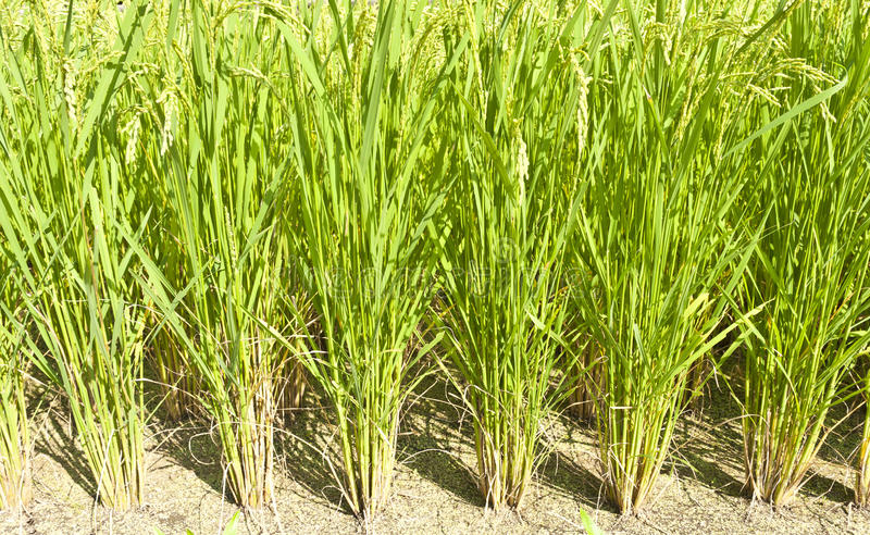 Download Rice Field Royalty Free Stock Images - Image: 20318309