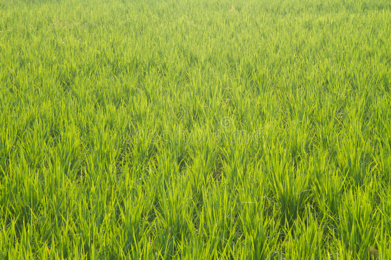 Download Rice Field Stock Images - Image: 21677594