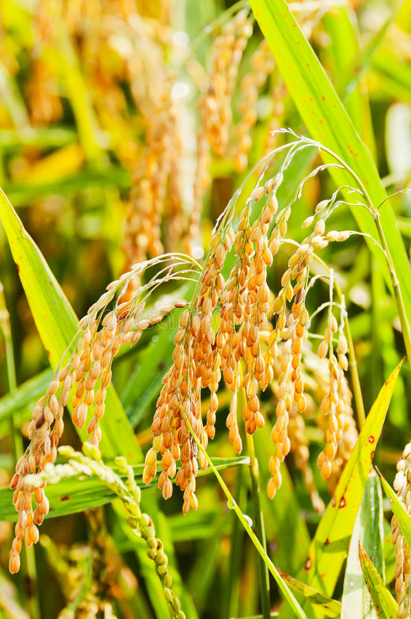 Download Rice field stock image. Image of cereal, field, thailand - 21992679
