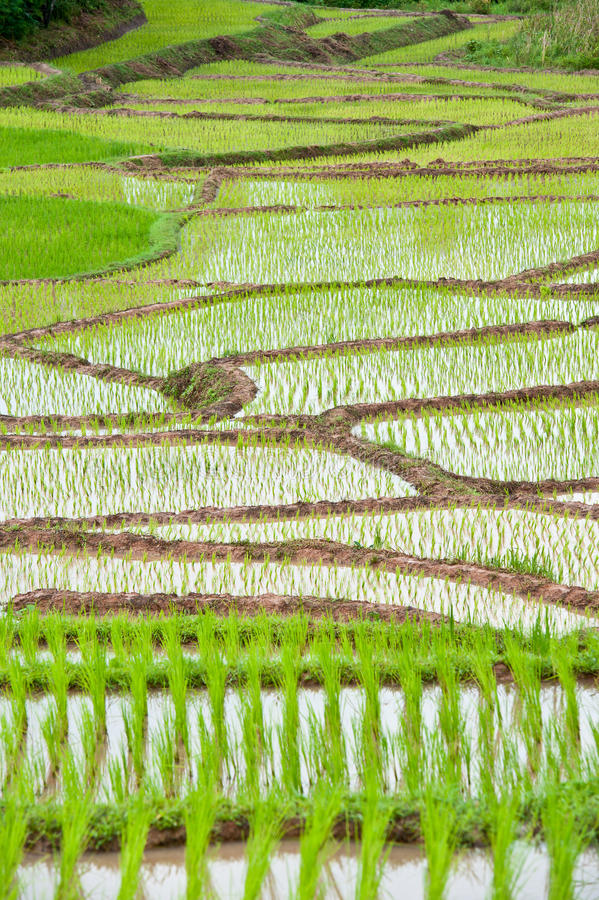 Download Rice field stock photo. Image of food, grass, grain, hill - 22282522