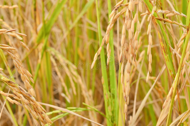 Download Rice field stock image. Image of countryside, golden - 22852919