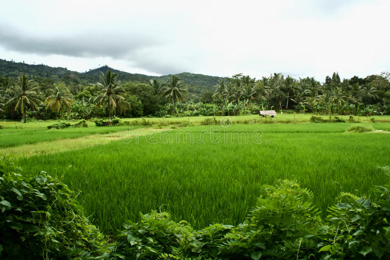 Rice Field. Not far from Carita Beach in West Java, Indonesia royalty free stock photography