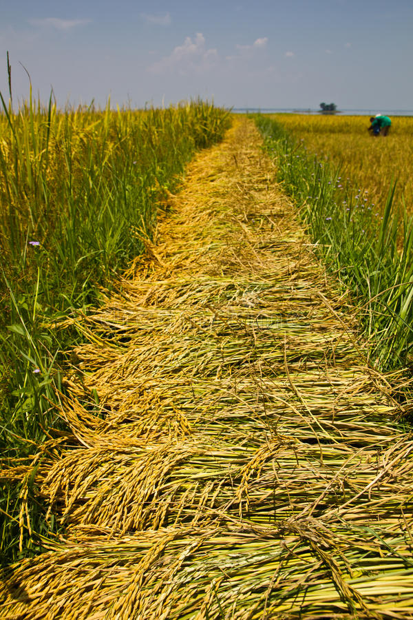 Download Rice Field Royalty Free Stock Images - Image: 24446419