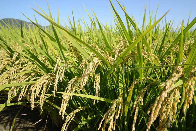 Download Rice field stock photo. Image of leaves, food, grow, field - 26815472
