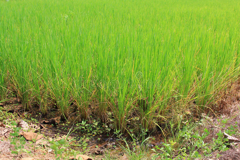 Download Rice field stock image. Image of growth, outdoor, farmland - 26940795