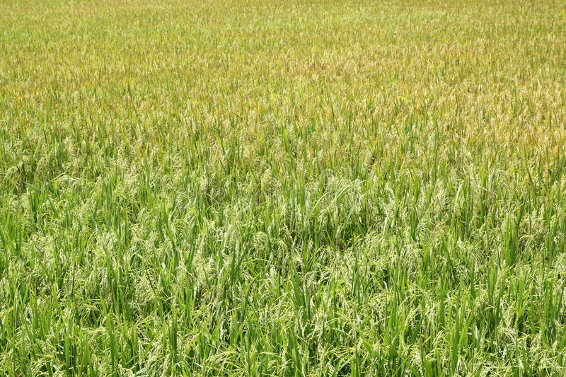 Download Rice field. stock photo. Image of scene, agriculture - 27359576
