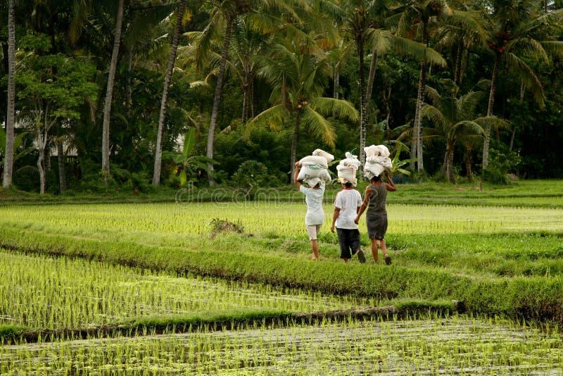 Download Rice field stock image. Image of heat, crop, water, terrace - 3352823