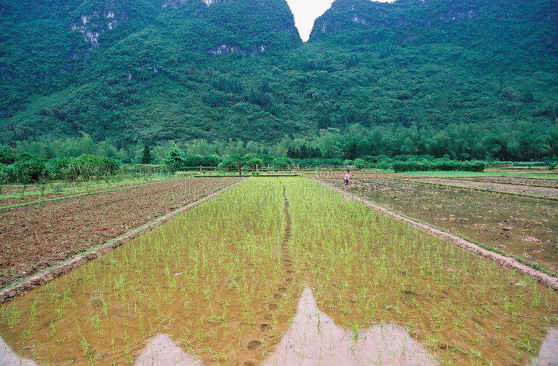 Download Rice field stock photo. Image of fields, agricultural - 3614566
