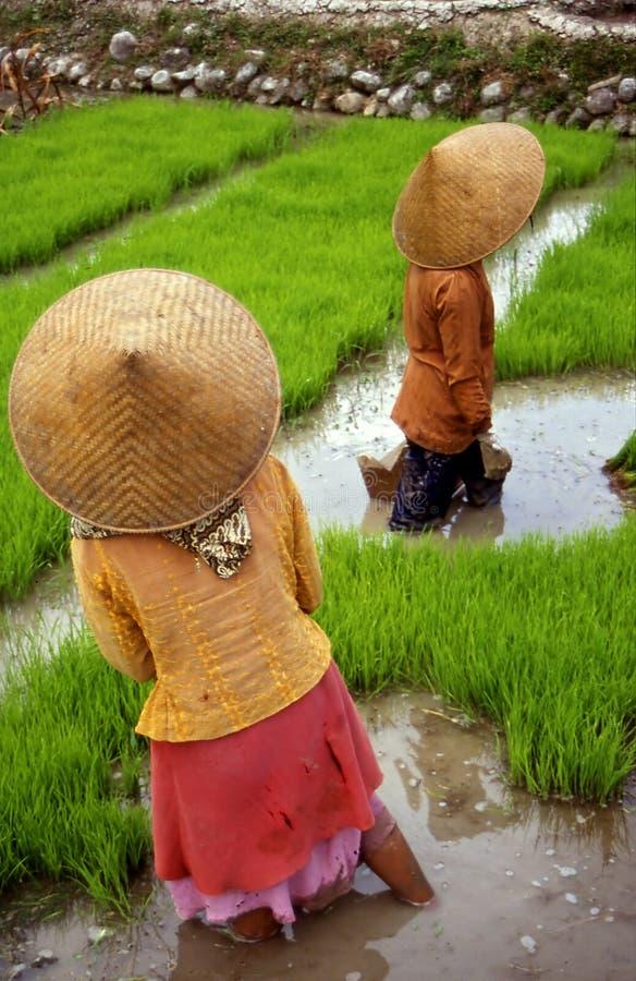 Rice-field. Women working in rice-field