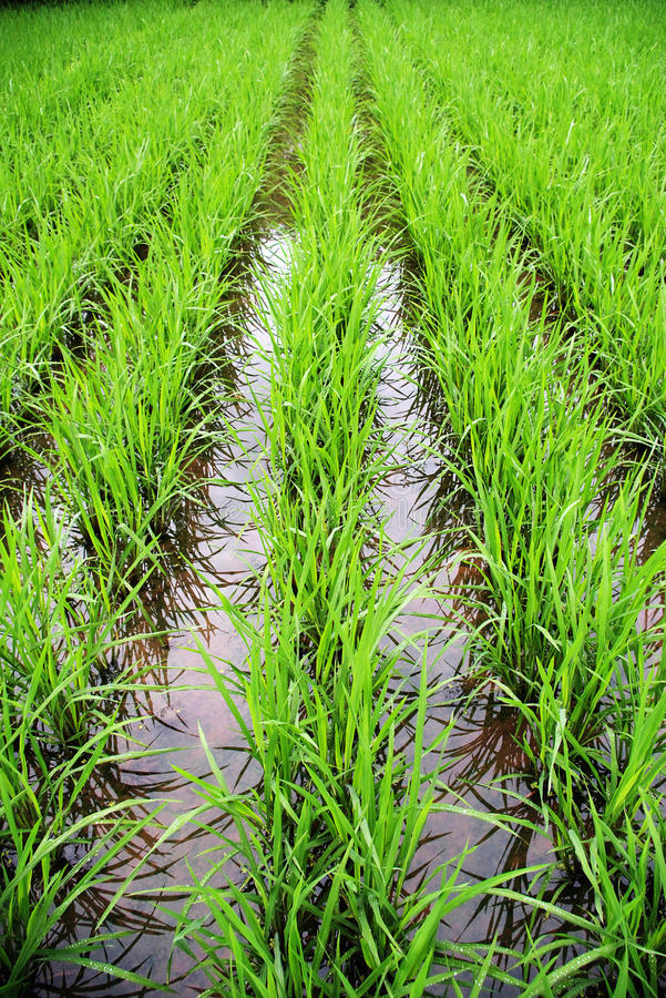 Free Rice Field Royalty Free Stock Photography - 9496777