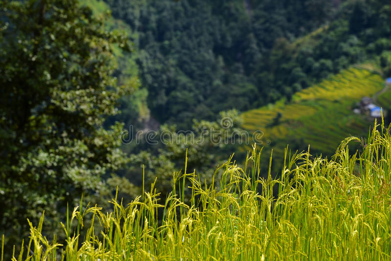 Download Rice field at autumn stock photo. Image of foliage, farming - 35324346