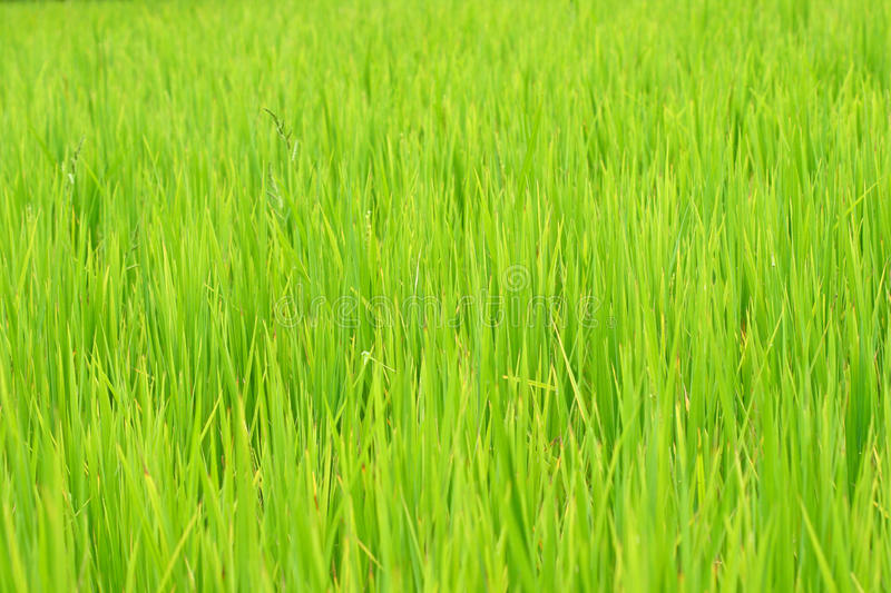 Rice Field Background Stock Image