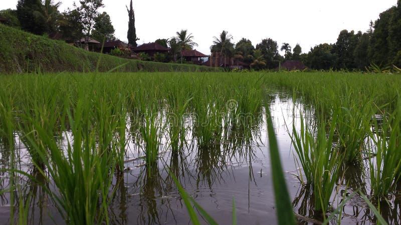 Rice field in bali stock photos