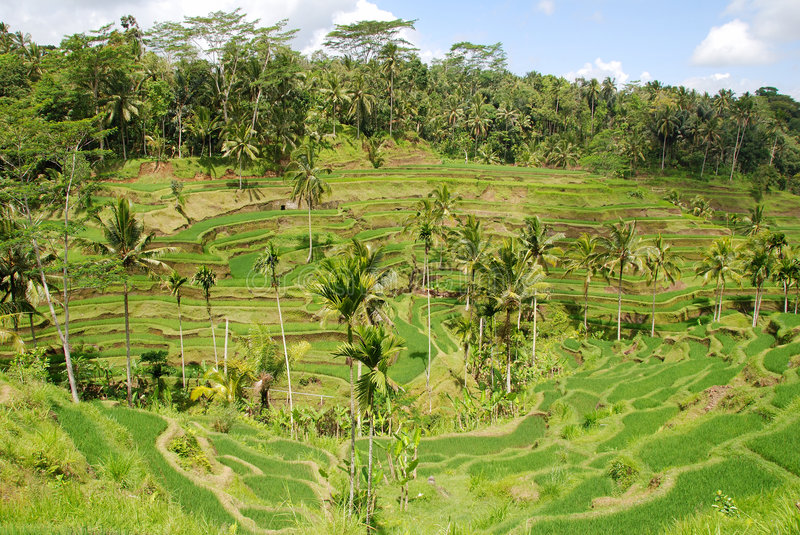 Download Rice Field In Bali Royalty Free Stock Image - Image: 7353536
