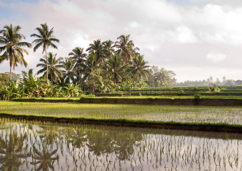 Rice field in Bali with palms and reflections stock photo