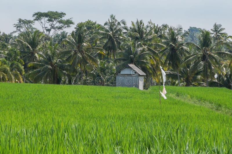 Rice field Bali royalty free stock image