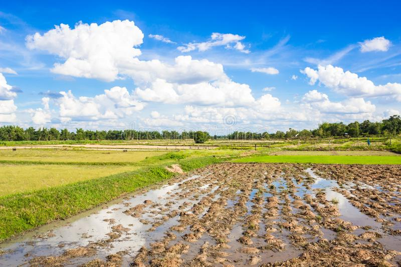 Rice field with beautiful blue sky in northeast Thailand. Rice field with beautiful blue sky and cloud in northeast Thailand royalty free stock photos