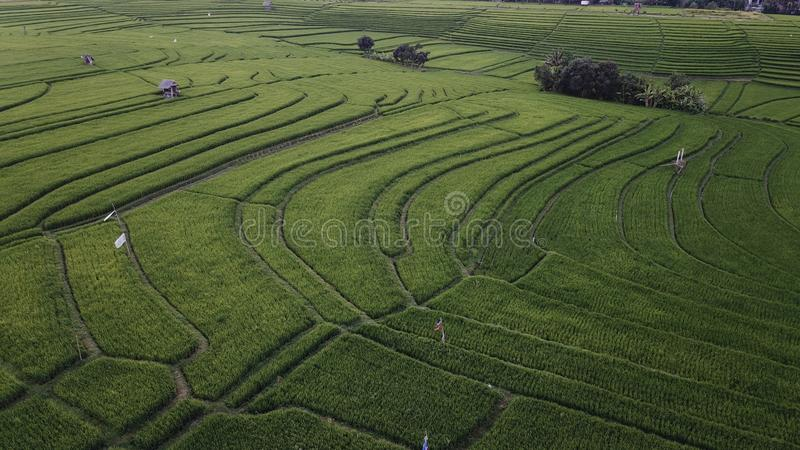 Rice Field. Beautiful Rice field in Bali royalty free stock photography