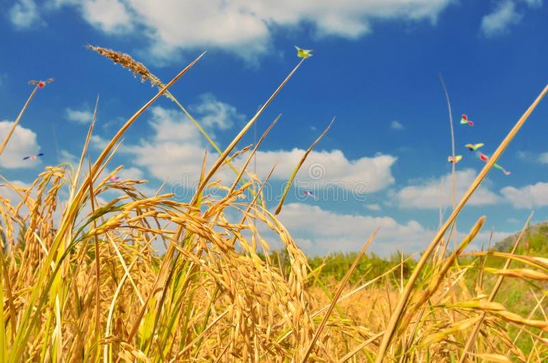 Rice field in blue sky stock photos