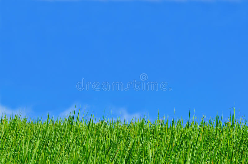 Download Rice field blue sky stock photo. Image of food, grain - 24974650