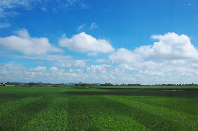 Rice field and the blue sky royalty free stock image