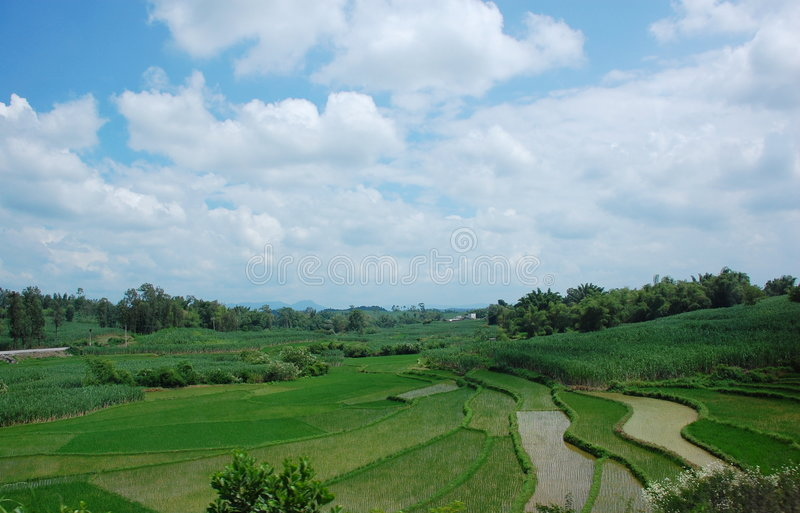 Rice field and the blue sky stock photo
