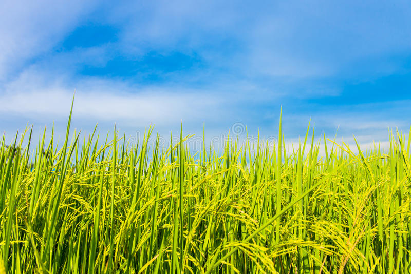 Rice field with the blue sky royalty free stock photos