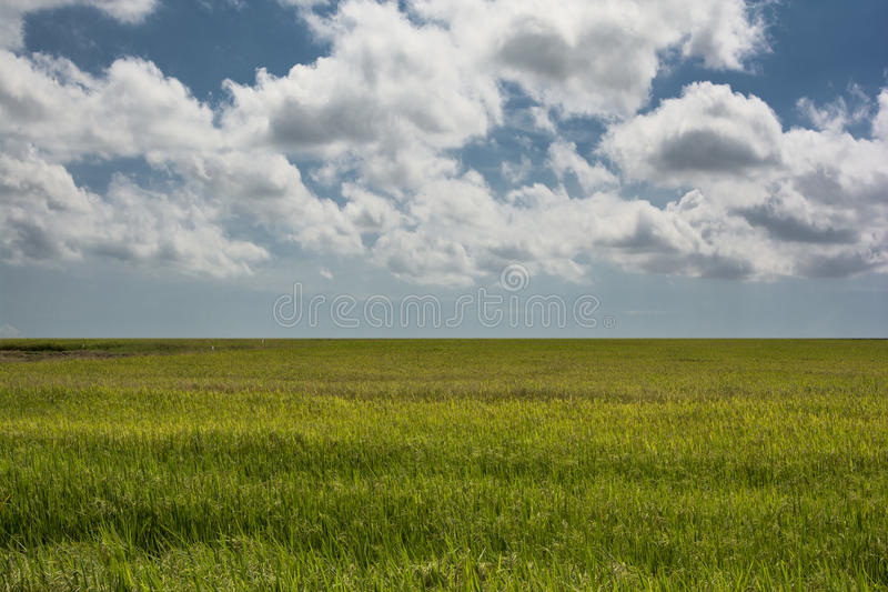 Rice field and blue sky. stock photography