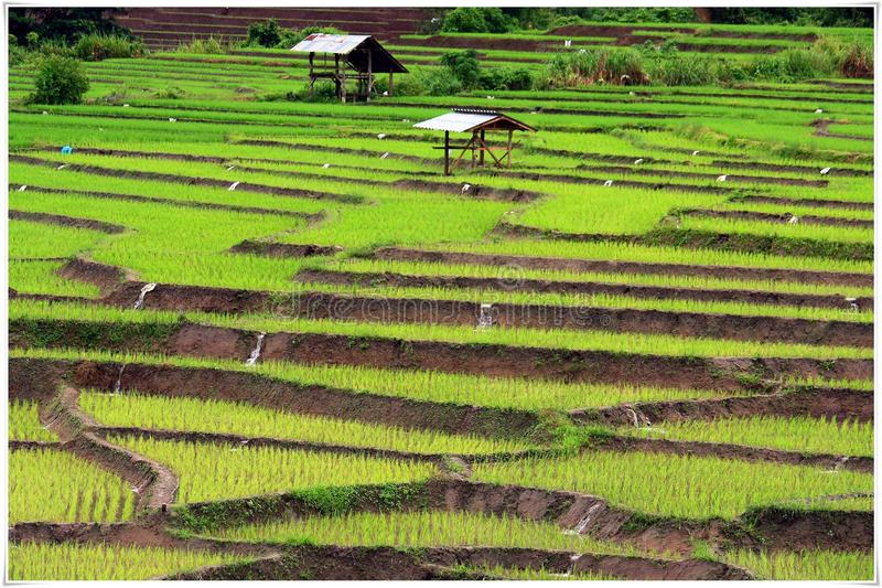 Rice field in Chiangmai. Rice plant will start on May-July Raining season in Thailand royalty free stock image
