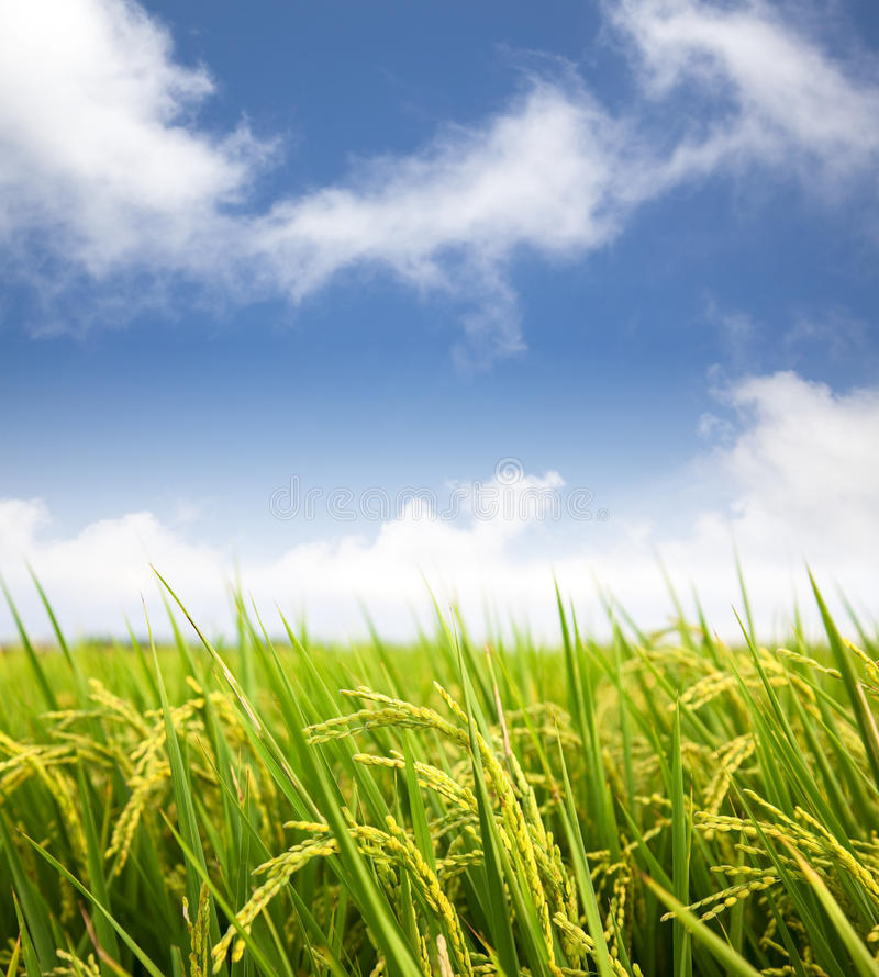 Download Rice field with cloud stock photo. Image of detail, blue - 22023036