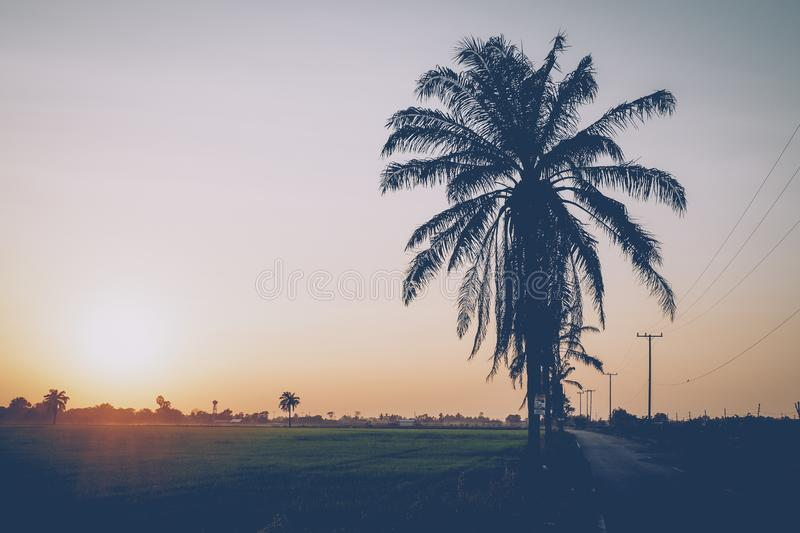 Rice field coconuts trees at sunset nature Asia background. Rice field coconuts trees at sunset or sunrise nature Asia background royalty free stock images