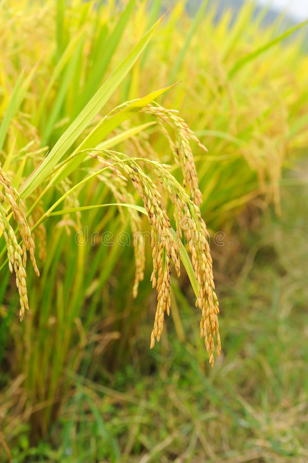 Rice field and drops stock photo