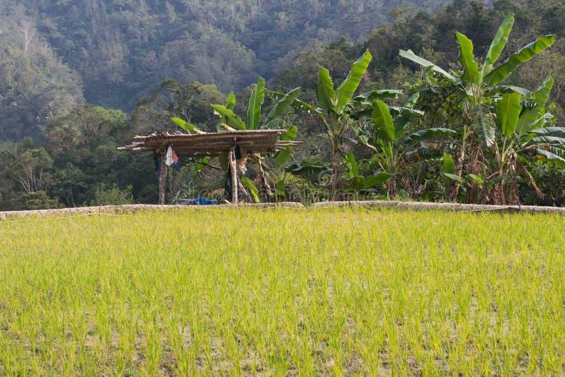 Rice field with farmers hut and banana tree royalty free stock photo