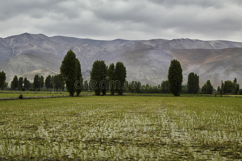 Rice field, fields stock photo