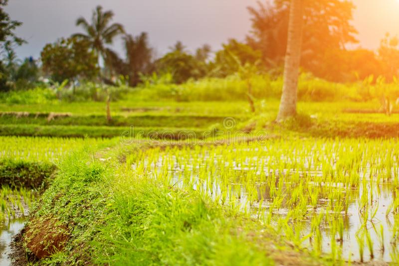 Rice Field Footpath When Afternoon Come royalty free stock photos