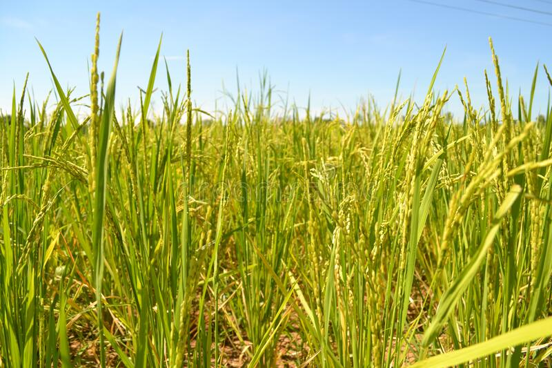 Rice Field Form Starting Stage stock photos