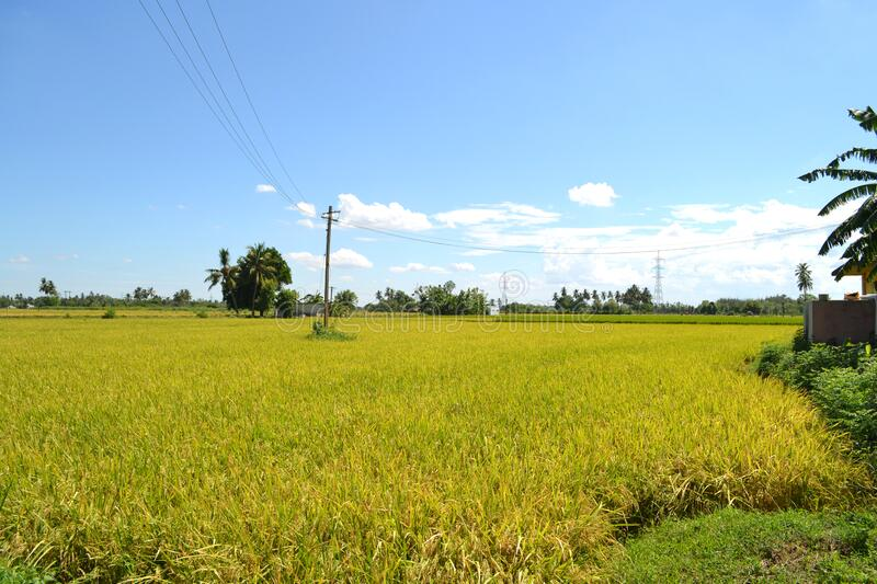 Rice Field Forming good stage stock image