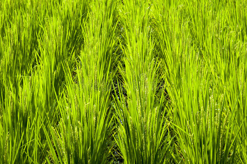 Rice Field Fragment Stock Photo