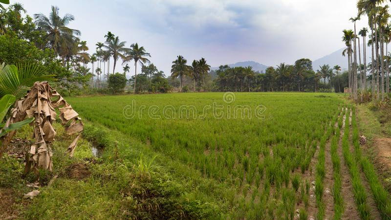 Rice field with fresh green paddy and palm trees royalty free stock photography